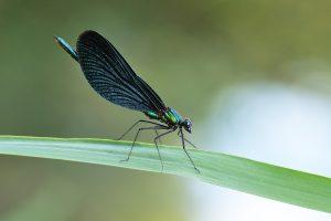 Bosbeekjuffer - Calopteryx virgo